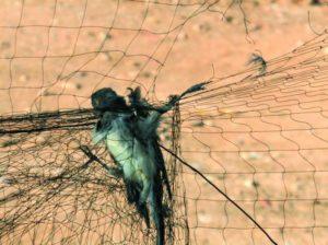 Μια μέθοδος κυνηγιού δεν αρκεί να είναι παραδοσιακή για να είναι νόμιμη, λέει το ΔΕΕ για ξόβεργες